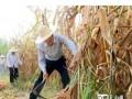 张春贤喀什叶城调研:戴草帽挥镰刀收割玉米